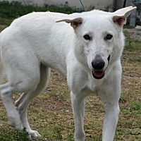 German Shepherd Dog Mix Dog for adoption in West Palm Beach, Florida - Champ