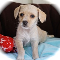 Adopt A Pet :: Tippy - La Habra Heights, CA