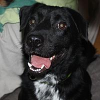 Labrador Retriever/Border Collie Mix Dog for adoption in Marion, Arkansas - Jameson