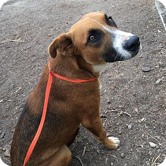 German Shepherd Dog/Boxer Mix Dog for adoption in Westminster, California - Noah