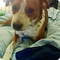 English Springer Spaniel/Boxer Mix Puppy for adoption in Fishkill, New York - SCOUT