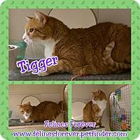 Adopt A Pet :: Tigger - Bridgeton, MO