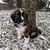 Adopt A Pet :: Scout - Wyoming, MI