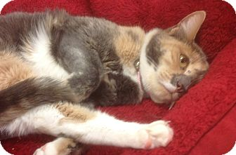 Domestic Mediumhair Cat for adoption in Modesto, California - Athena