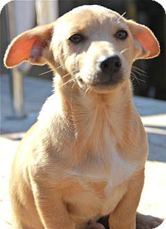 Corgi/Chihuahua Mix Puppy for adoption in Norwalk, Connecticut - Ginnie