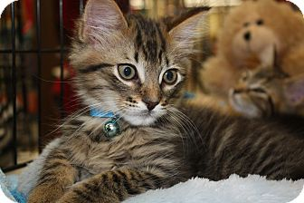 Domestic Shorthair Kitten for adoption in Vero Beach, Florida - Koda