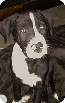 Labrador Retriever/Great Dane Mix Puppy for adoption in Davie, Florida - Lucky