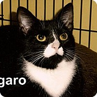 Adopt A Pet :: Figaro - Medway, MA