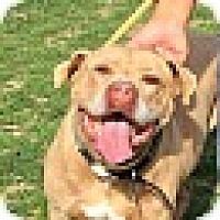 Adopt A Pet :: SWEETPEA - Valley Village, CA