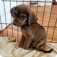 Adopt A Pet :: Sarge*ADOPTED!* - Chicago, IL