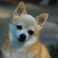 Pomeranian/Chihuahua Mix Dog for adoption in Benton, Louisiana - Miles