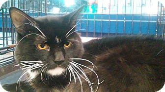 Domestic Mediumhair Cat for adoption in Santa Monica, California - Smiley