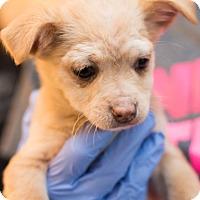 Adopt A Pet :: Remy - Minneapolis, MN