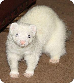 Ferret for adoption in Indianapolis, Indiana - Dobbie