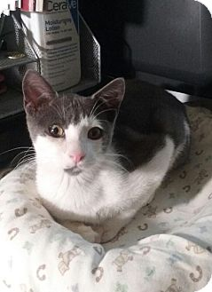 Domestic Shorthair Kitten for adoption in Wantagh, New York - Peanut