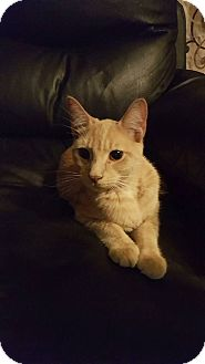 Domestic Shorthair Cat for adoption in Rockford, Illinois - King