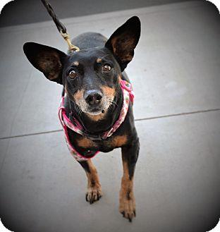 Miniature Pinscher Dog for adoption in Chandler, Arizona - Mochi
