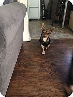 Corgi/French Bulldog Mix Dog for adoption in Valley Village, California - Olivia Frances