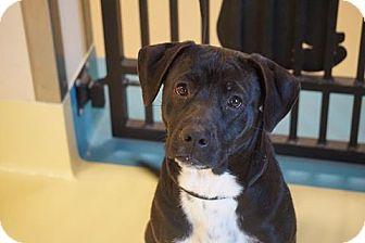 Labrador Retriever Mix Dog for adoption in Peace Dale, Rhode Island - Sheba