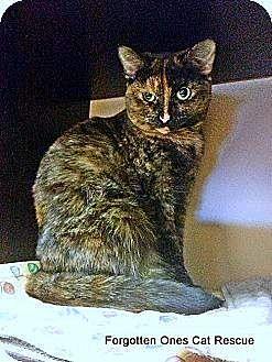 Domestic Shorthair Cat for adoption in Richmond Hill, Ontario - Cinnamon