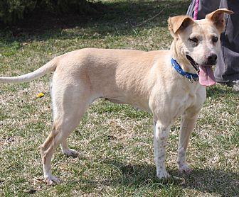 Australian Shepherd/Terrier (Unknown Type, Medium) Mix Dog for adoption in Staunton, Virginia - Jacki