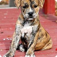 Adopt A Pet :: Sinbad - Windermere, FL