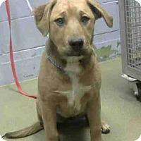 Adopt A Pet :: Vika - Downey, CA