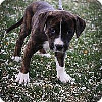 Adopt A Pet :: Khalesi - Broomfield, CO