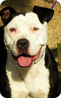 Pit Bull Terrier Mix Dog for adoption in West Babylon, New York - Cookie