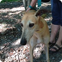 Adopt A Pet :: Roc a by Dixie - Gerrardstown, WV