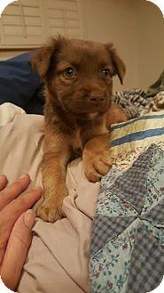 Labrador Retriever/Collie Mix Puppy for adoption in Stamford, Connecticut - Chance