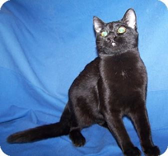 Domestic Shorthair Cat for adoption in Colorado Springs, Colorado - Alyss