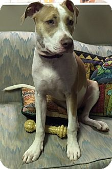 Pit Bull Terrier/Hound (Unknown Type) Mix Dog for adoption in Richmond, Virginia - Willow