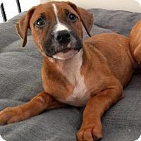 Adopt A Pet :: Torchy - Houston, TX