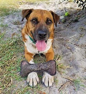 Boxer Mix Dog for adoption in Umatilla, Florida - Remi *SPONSORED*