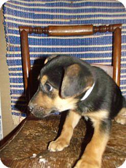 German Shepherd Dog Mix Puppy for adoption in Morgantown, West Virginia - Abby Cadabby