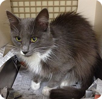 Domestic Mediumhair Cat for adoption in Troy, Ohio - Malcolm