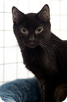 Domestic Shorthair Kitten for adoption in london, Ontario - Jen
