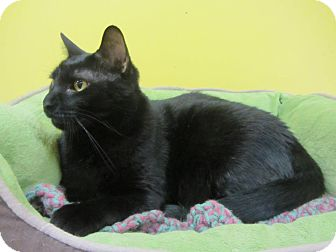 Domestic Mediumhair Cat for adoption in Mobile, Alabama - Johnny