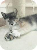 Calico Kitten for adoption in Horsham, Pennsylvania - Lee Lee