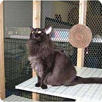 Domestic Longhair Cat for adoption in Winston-Salem, North Carolina - Lena