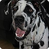 Adopt A Pet :: Cosmo - Rigaud, QC
