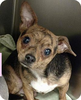 Chihuahua Mix Dog for adoption in Houston, Texas - Tigger