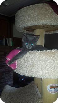 Domestic Shorthair Kitten for adoption in Salem, Ohio - Angel