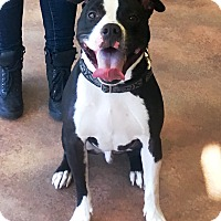 American Staffordshire Terrier/American Pit Bull Terrier Mix Dog for adoption in YONKERS, New York - Rome