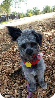 Schnauzer (Miniature)/Yorkie, Yorkshire Terrier Mix Dog for adoption in Redding, California - Gracie Lynn