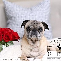 Adopt A Pet :: Shelby - Frederick, MD