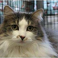 Domestic Longhair Cat for adoption in Saranac Lake, New York - Honey