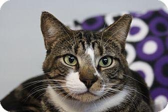 Domestic Shorthair Cat for adoption in Sarasota, Florida - Vinny