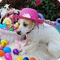 Adopt A Pet :: Bonnet - Royal Palm Beach, FL
